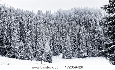 Snowy Winter Forest With Pine Or Spruce Trees Covered Snow