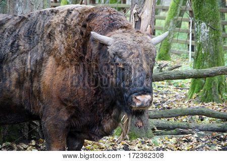 Wild nature: Bison in National Park, Poland