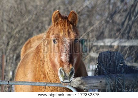 Brown colored horse in a small enclosed corral, looking over the top of fence.