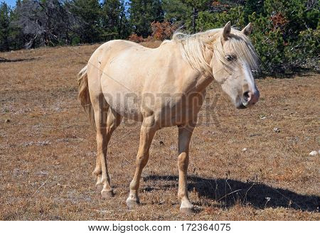 Wild Horse Palomino Mare on Tillett Ridge in the Pryor Mountains Wild Horse Range on the Wyoming Montana state line border USA