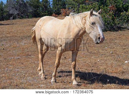 Wild Horse Palomino Mare on Tillett Ridge in the Pryor Mountains Wild Horse Range on the Wyoming Montana state line border USA