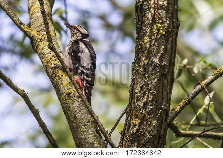 Great Woodpecker (dendrocopus Major)