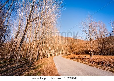 Country road in a poplar trees forest. Country landscape.