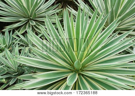 Agave angustifolia (Caribbean Agave) in the garden