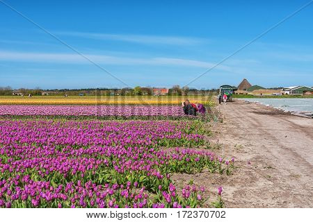 Zijpe, Netherlands - May 1, 2016: Photographers take pictures of the beautiful flower fields in the head of the province Noord-Holland in The Netherlands.