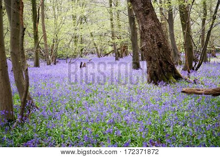 bluebells growing wild in the woods in the springtime