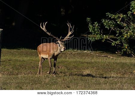 The mighty strong deer extends from woodland to meadow