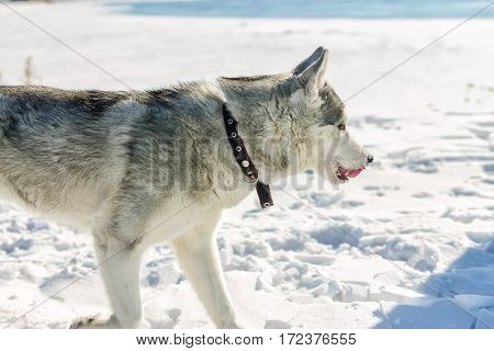 Portrait Of Husky Puppy In Winter In Snow
