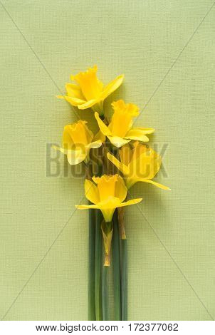 Arrangement of five fresh yellow Jersey Pride daffodils lying on soft pale green textured background with copy space on the top.