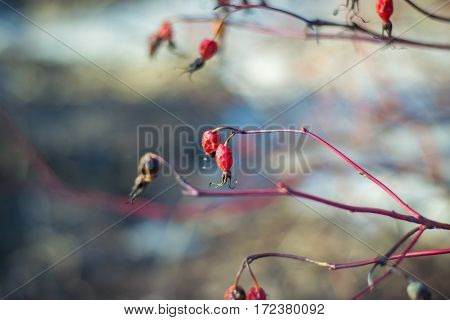 Dry red rose hip in early spring