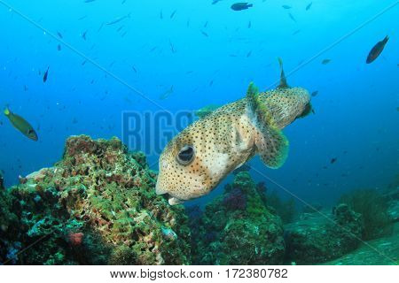Porcupinefish porcupine fish