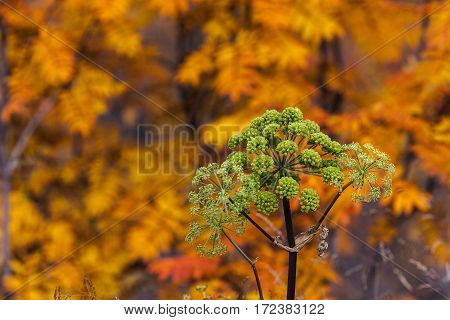 Strong and green woodland angelica this side colorful leaves on some trees.