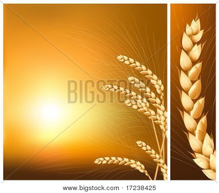 Vector. Ears of wheat on the  rising sun background.
