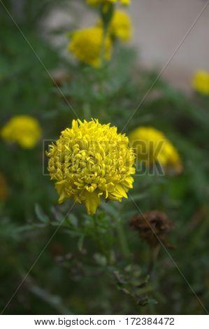 yellow flower dandelion in the middle garden