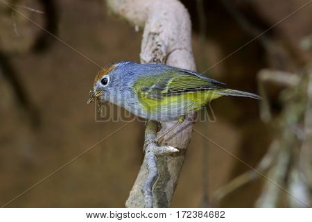 Chestnut-crowned Warbler Seicercus castaniceps Cute Birds of Thailand