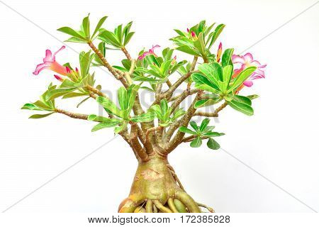 flower of desert rose and green leaf of desert rose with growing isolated on white