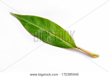 the one green leaf on white background isolate