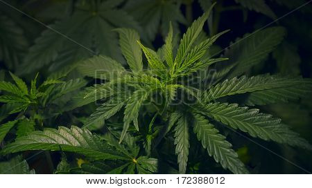 MEDICAL MARIHUANA GROW INDOOR HOME PLANT CANNABIS