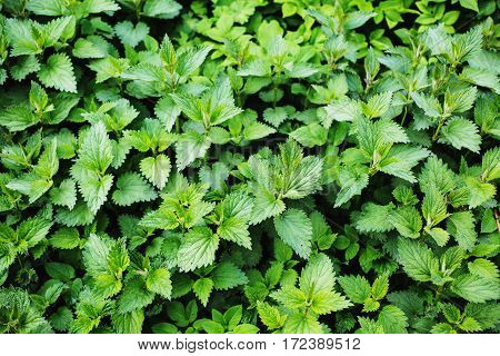 green natural background summer nettle, spring time