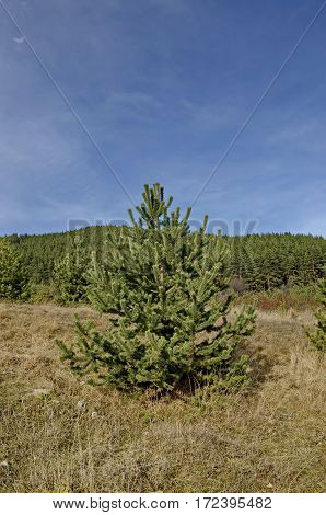Young single pine tree in the glade at Vitosha mountain, Bulgaria