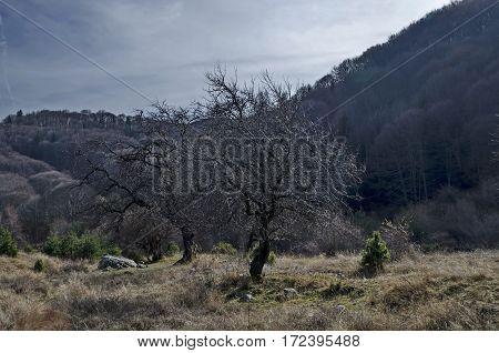 Single deciduous tree and  late autumn forest, Vitosha mountain, Bulgaria