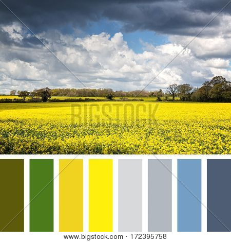 Field of canola flowers or rapeseed in Mitcheldever, Hampshire, United Kingdom, Springtime rural landscape in a colour palette with complimentary colour swatches.