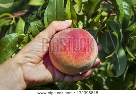 A colorful ripe peach is picked from the tree in an orchard.