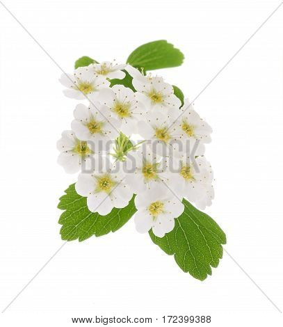 Common Hawthorn Or Whitethorn