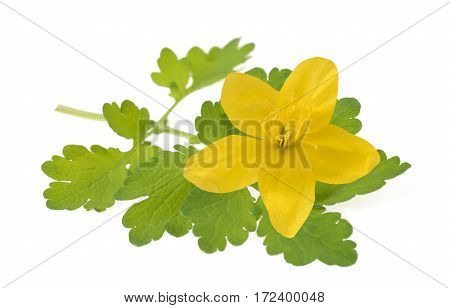 Greater celandine isolated on a white background