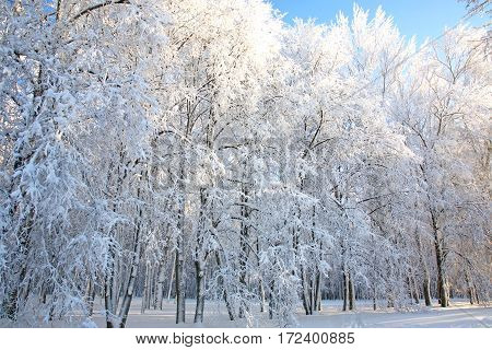 Winter trees on blue sky in sunny weather