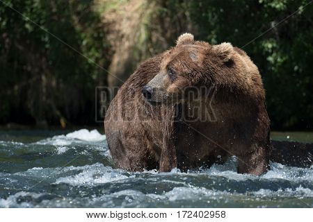 Large Alaskan Brown Bear In River
