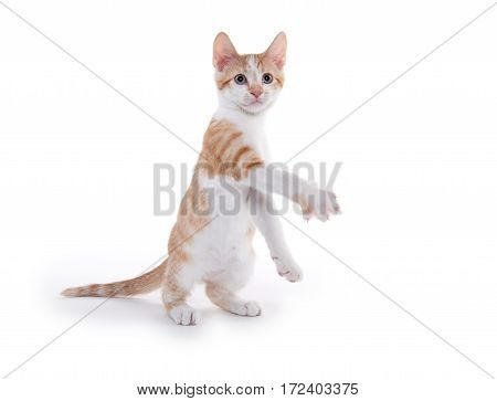 Cute Yellow Kitten Playing