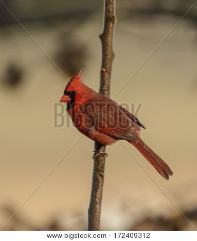 A male Northern Cardinal (Cardinalis cardinalis) perched on a tree branch, displaying its signature red plumage, in York County Pennsylvania, USA.