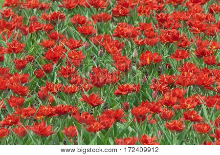 background of the plurality of spring red tulips with green leaves