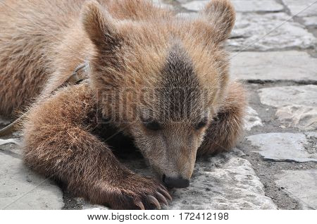 little brown bear on the cobblestones of July