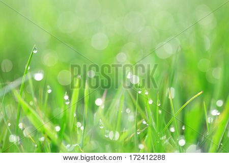 Green grass with dew drops shot backlit