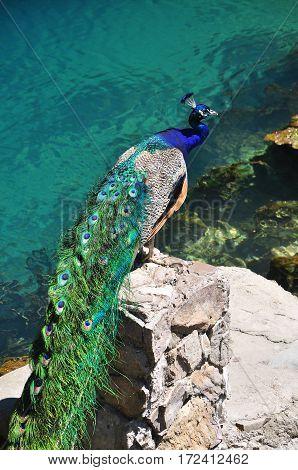 Peacock at blue lake in Abkhazia july 2016