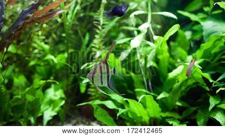 Angelfish swimming with black molies and platies in heavily planted community tropical aquarium.