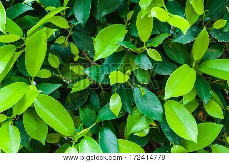 Closeup to Light and Dark Green Leaves Background