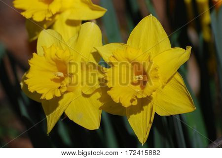 Yellow daffodils are the hallmark of Spring having sprung.