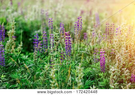 spring flowers lupine field on a sunny day.