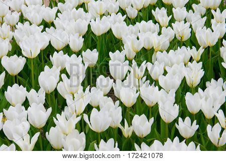 Many white tulips growing on a large beautiful flowerbed