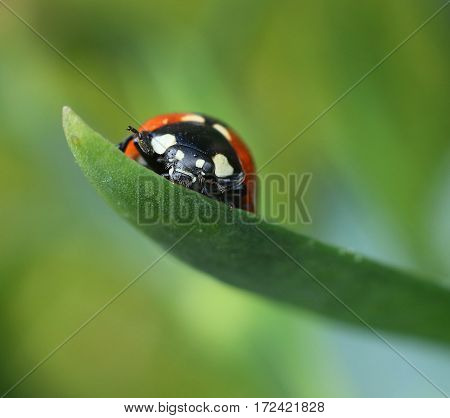 Ladybug climbing on green leaf macro closeup