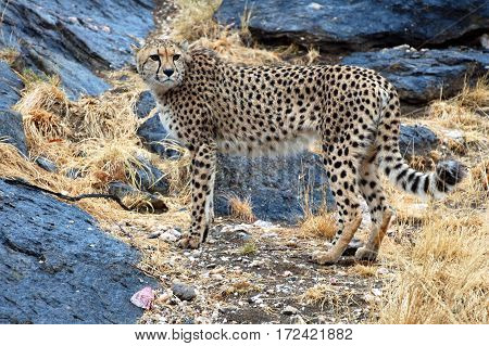 Wonderful Cheetah in the Landscape of Namibia