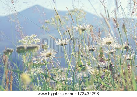 Daisy on mountains background. Summer wildflowers meadow background.