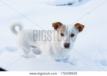 dog look in camera white snow jack russel