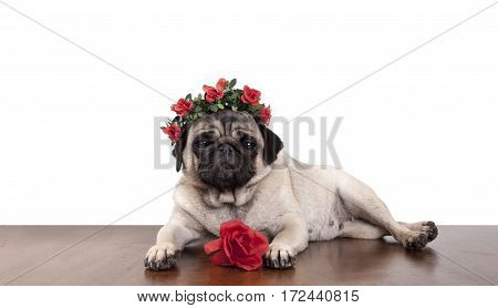 lovely sweet pug puppy dog lying down on wooden floor like a model wearing diadem with red roses