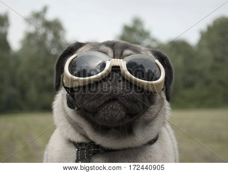 closeup of funny pug puppy wearing dog goggles to protect eyes outside in park