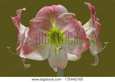 Apple Blossom Amaryllis with four blossoms on isolated background.