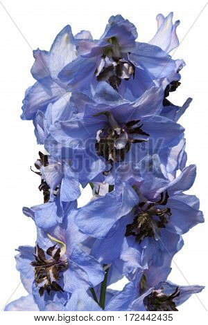 Blue lupinus flower isolated on a white background - clipping ath